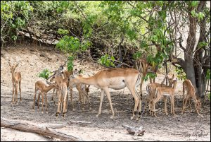 Crêche d'impala de 2 jours