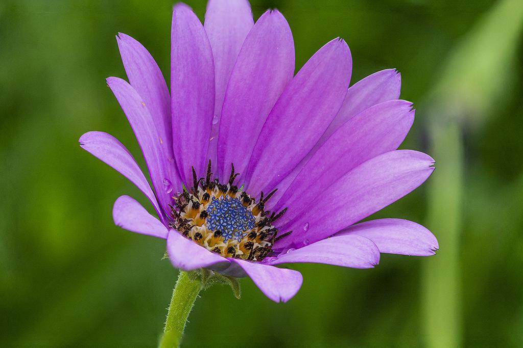 Marguerite du Cap (Osteospermum) (3)