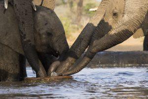 Tant qu'il y aura des éléphants (2)