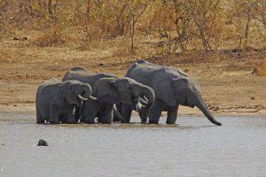 Tant qu'il y aura des éléphants (23)