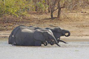 Tant qu'il y aura des éléphants (26)