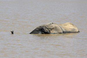 Tant qu'il y aura des éléphants (28)
