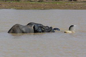 Tant qu'il y aura des éléphants (31)