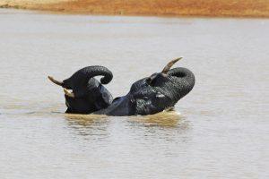Tant qu'il y aura des éléphants (33)