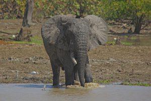 Tant qu'il y aura des éléphants (36)