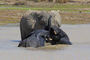 Tant qu'il y aura des éléphants (37)