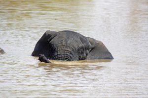 Tant qu'il y aura des éléphants (38)