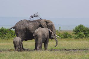 Tant qu'il y aura des éléphants (39)
