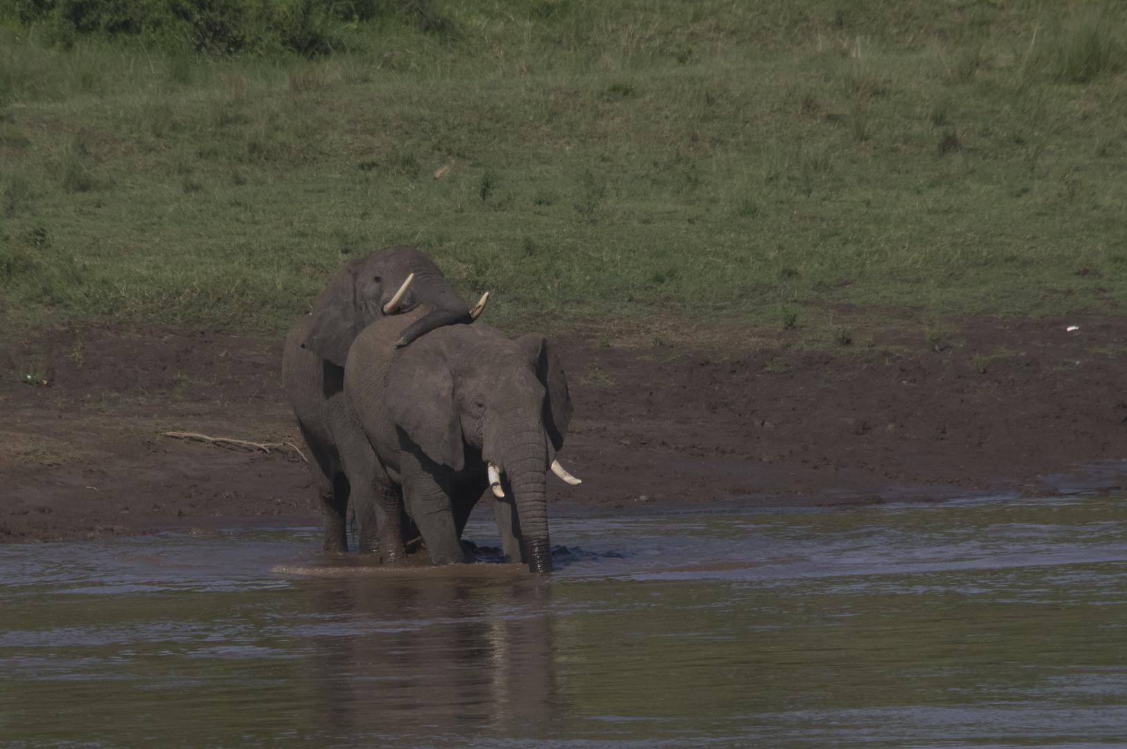 Tant qu'il y aura des éléphants (41)