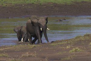 Tant qu'il y aura des éléphants (42)