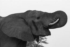 Tant qu'il y aura des éléphants (46)