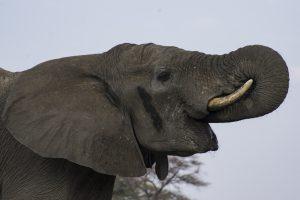 Tant qu'il y aura des éléphants (47)