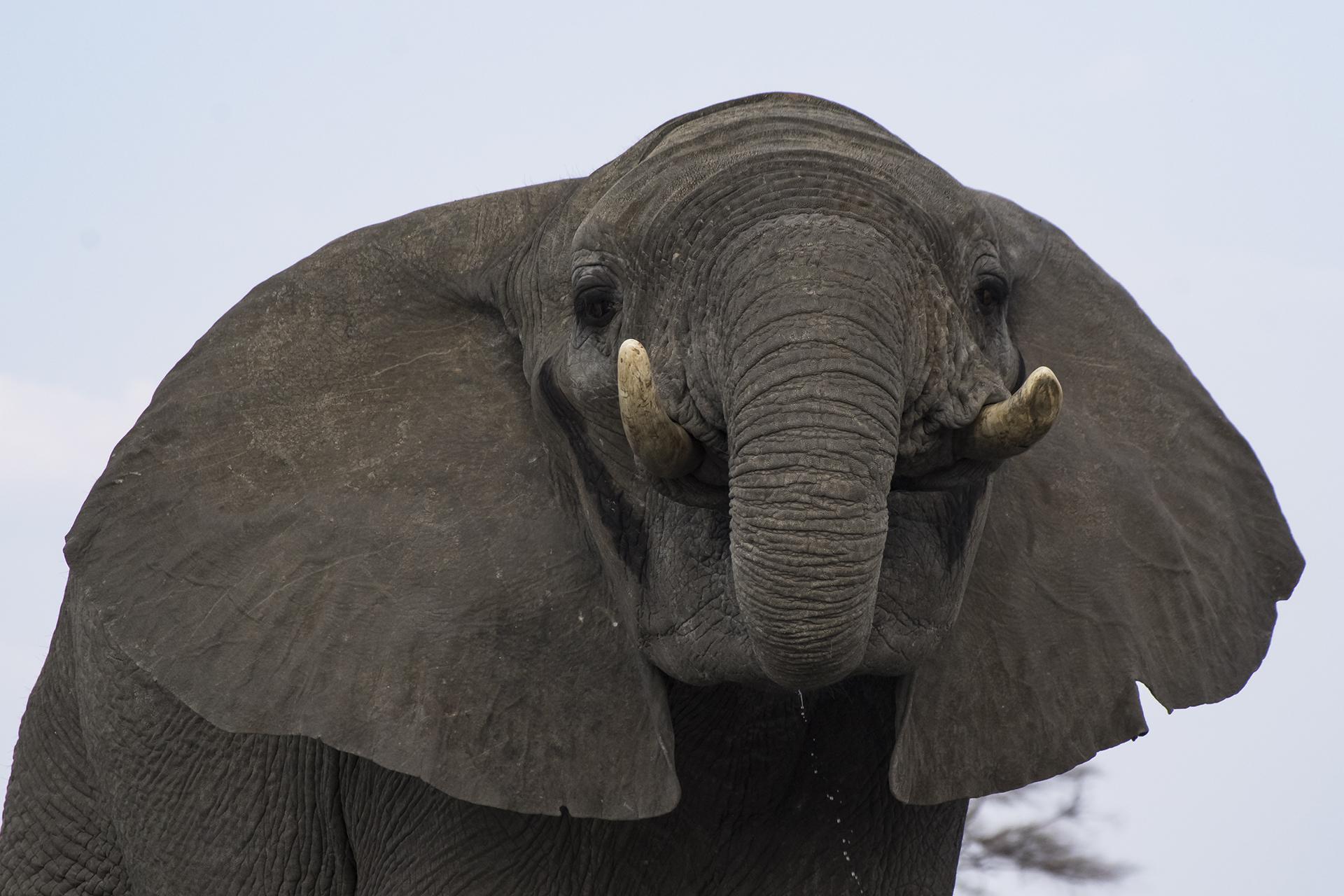 Tant qu'il y aura des éléphants (48)