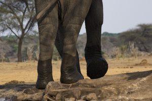 Tant qu'il y aura des éléphants (49)