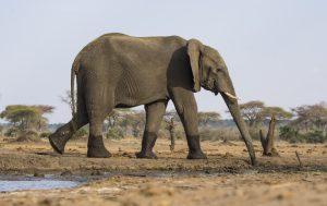 Tant qu'il y aura des éléphants (50)
