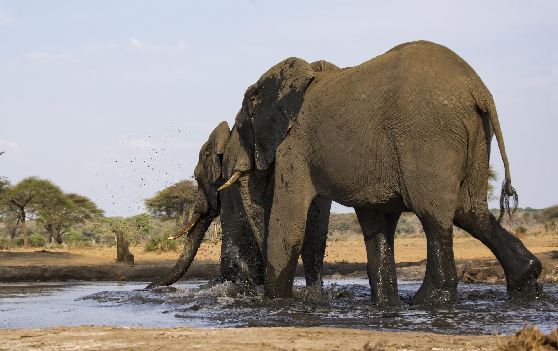 Tant qu'il y aura des éléphants (51)