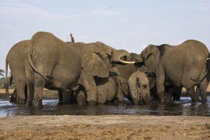 Tant qu'il y aura des éléphants (52)