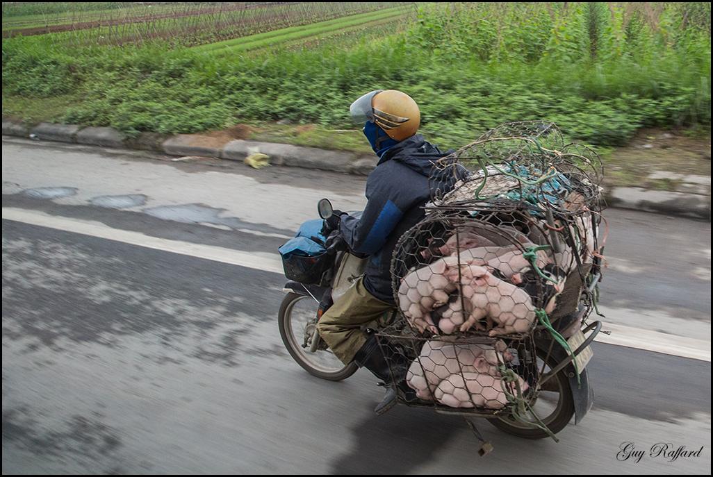 Transport de cochons